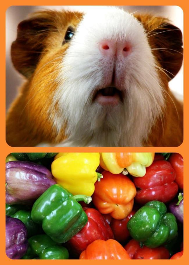 Today is National Vitamin C day, so I wanted to highlight a companion animal that needs Vitamin C to live a healthy life.  Did you know that the *average* guinea pig needs 20 -25 mg per day to rema...