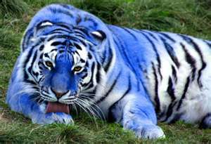 I've never seen these beautful blue maltese tigers before. The Maltese tiger, or blue tiger, is a sub species coloration morph of a tiger, reported mostly in the Fujian Province of China. This is beyond awesome.