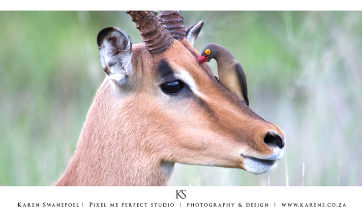 Ox pecker on an Impala