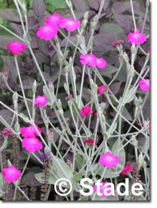 leichter Schatten geht, Blütezeit 6 - 7, Höhe 60 - 80 cm,  Lychnis coronaria (Kronen-Lichtnelke, Vixier-Nelke) Bild 3
