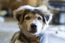 Husky And Lab Mix Puppies