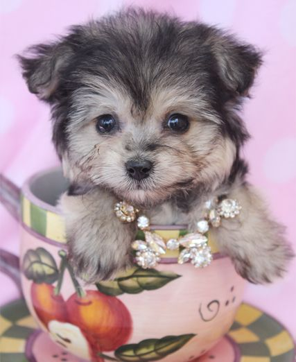 Adorable Morkie Puppies For Sale in South Florida