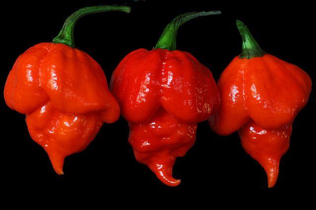 Capsicum chinense 'Trinidad Scorpion'; by thomas_orchids, via Flickr