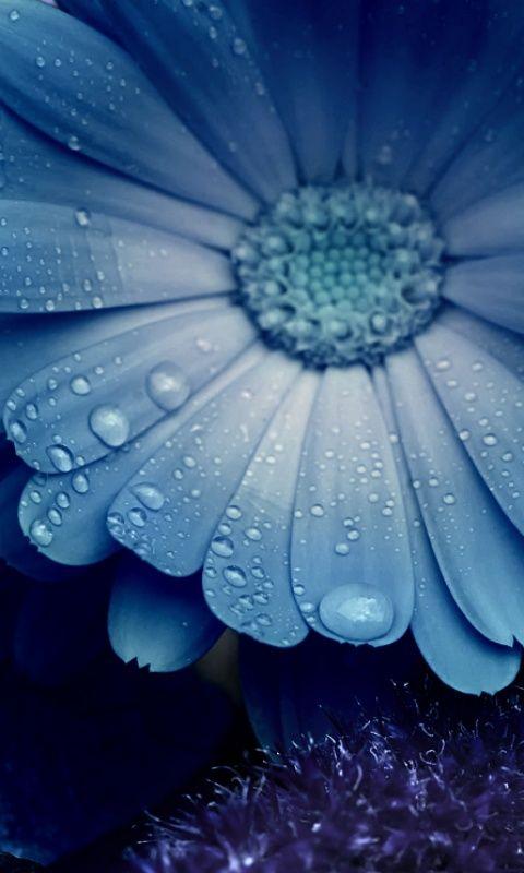 Blue daisy. Don't think I've ever seen a blue daisy.