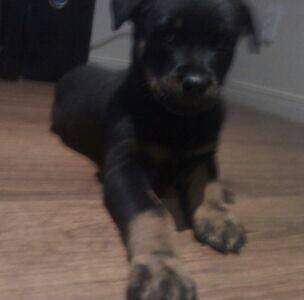 Pure Bred Female Rotti,13 weeks old  No Papers