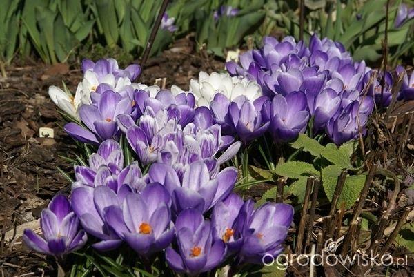 Ogrodnik Mimo Woli cd - strona 2124 - Forum ogrodnicze - Ogrodowisko  wielkokwiatowe