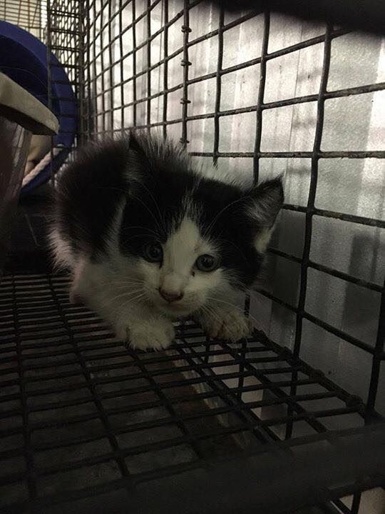 FOUND IN DUMPSTER!11/27/16-DIES FRIDAY at 9 AM!! 2 Female kittens. CPP160630-631 Found in a dumpster!! ►MUST have an adopter or rescue BEFORE 9 AM ***FRIDAY*** 12-2-16◄ Carthage Panola County Pound Carthage, TX 903-693-2877 Mon-Wed 9-4, Thurs 9-11:30, Fri 9-4 1024 US Highway 59 N Carthage, Texas carthagepanolapound@gmail.com