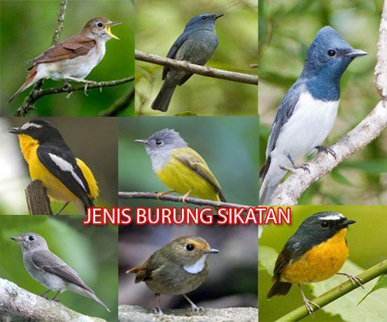 Burung Adalah Hewan Yang Kerap Kali Kita Temui Di Lingkungan Sekitar Entah Itu Di Perumahan Hutan Jalanan Dan Sebagainya Di Dun Burung Sikatan Burung Hewan