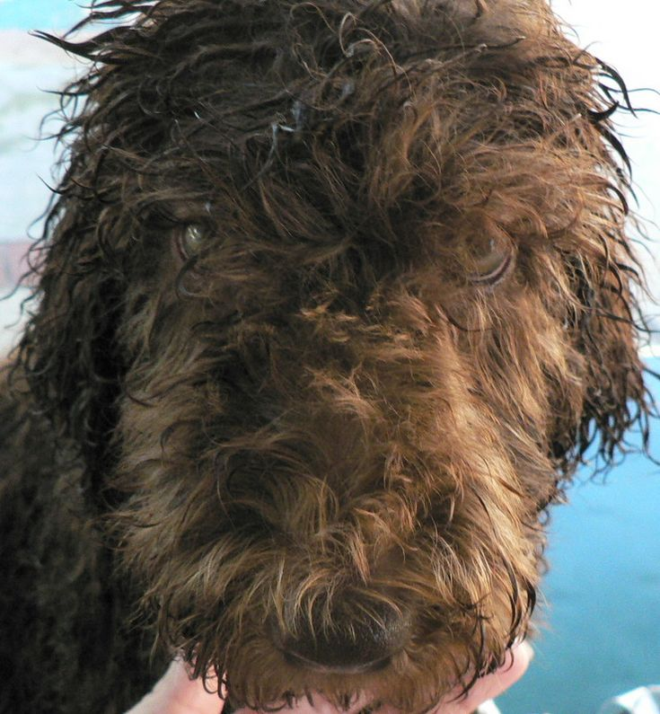 Royal Diamond Labradoodles Grooming the Face of a Curly