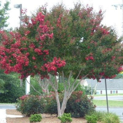 how to stop a crepe myrtle from blooming