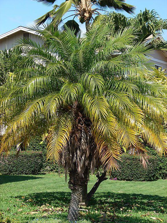 Les 33 meilleures images du tableau arbres du jardin sur for Entretien rosier nain interieur