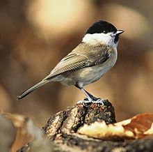 Poecile - Marsh Tits are mainly found in the UK. They nest in pre-made holes, not making their own holes.