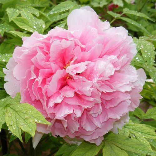 Peony Poppy Salmon Flower Seeds (Papaver Paeoniflorum) 100+Seeds