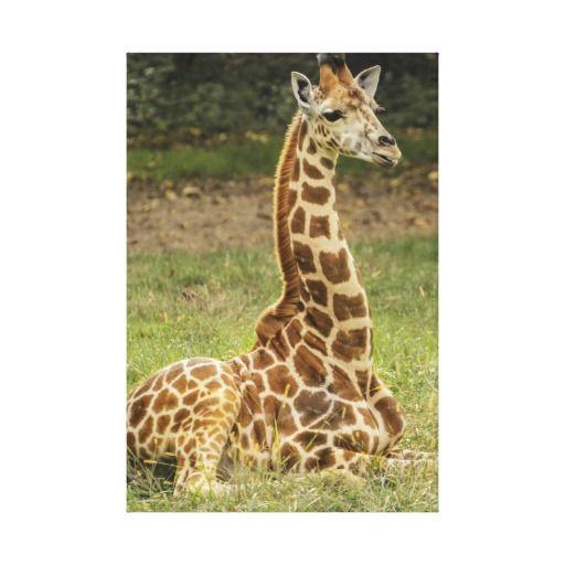 Giraffe Stretched Canvas Prints