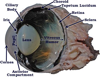 Cow eye anatomy