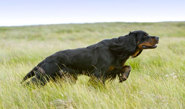 The Gordon Setter's best qualities are said to be beauty, brains, and birdiness. He has a silky black coat set off with tan markings and requires grooming about three times a week.  Everything you want to know about Gordon Setters including grooming, training, health problems, history, adoption, finding good breeder and more.