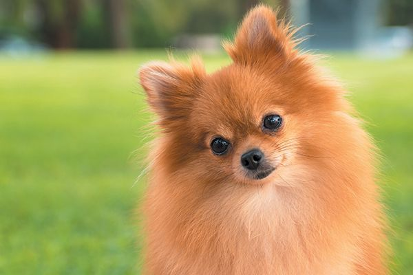 What To Know About The Small But Mighty Pomeranian Doglover Dog Dogs Pets Dogsoftwitter Puppies Pomeranian Dog Cute Pomeranian Dog Breeds
