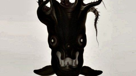Vampire Squid is capable of turning inside out with an appearance of a dark cloak. Color range from Blood red to dark Purple to Black with blue eyes. de
