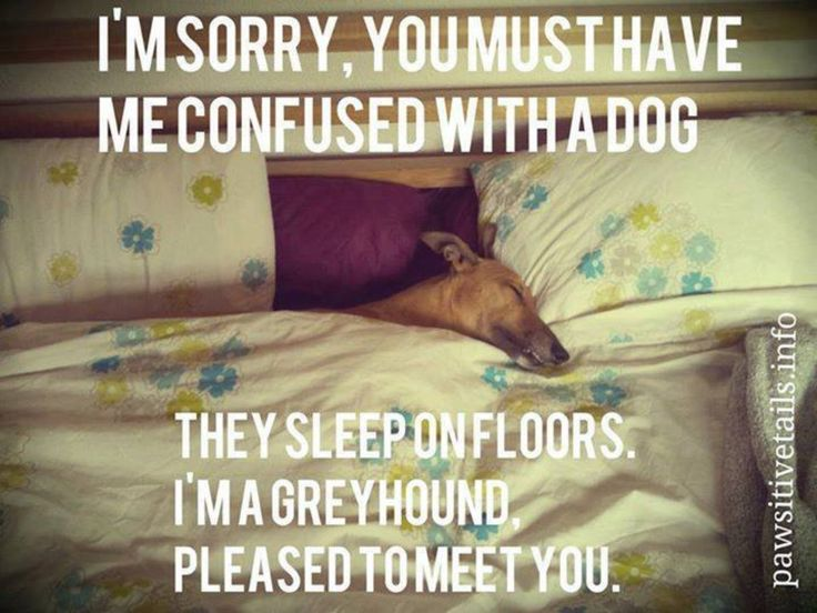 102 Best Images About My Pets On Pinterest Greyhounds