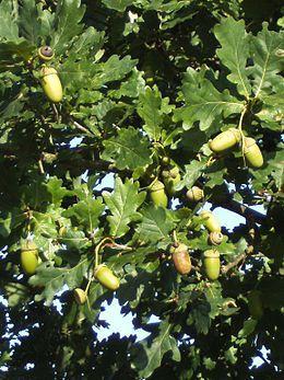 De zomereik ( (Quercus robur) heeft veel meer eikels dan de wintereik. Voor eikeltjeskoffie: kwartier koken, desnoods water verversen om het tanine te verwijderen. Afdrogen, in stukjes snijden, roosteren in pan. Afkoelen. Malen. Gebruiken als filterkoffie.