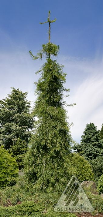 Not as tall as the real thing, Pinus strobus 'Angel Falls' can give you the same effect in a garden-sized package.