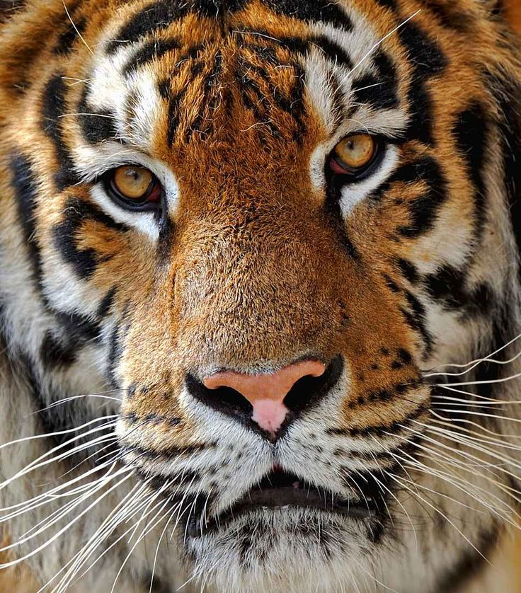 Siberian tiger - also known as the Amur tiger in extreme close-up