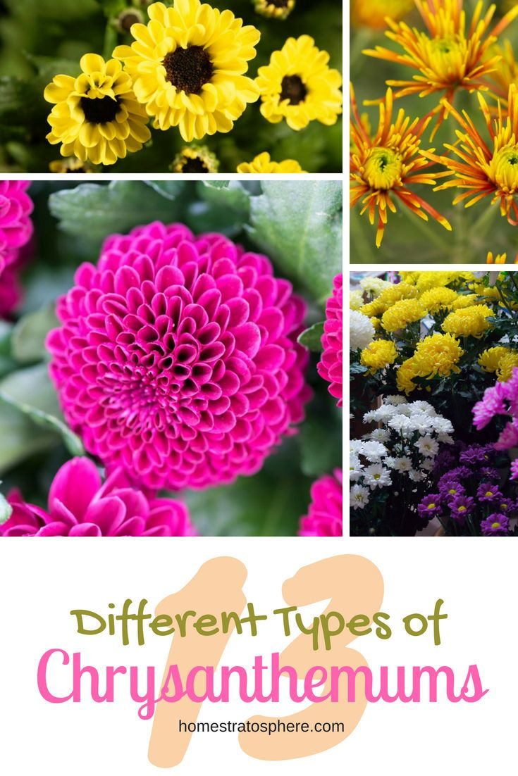 Different Types of Chrysanthemums Plus Planting Tips and Health