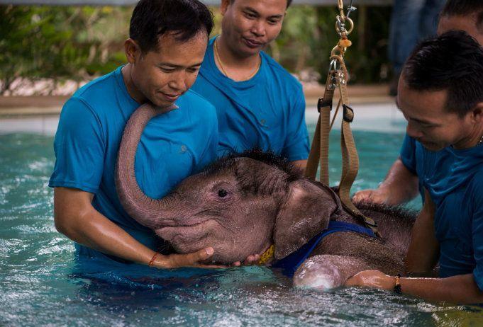 Un traitement révolutionnaire pour un éléphant est testé pour la première fois en Thaïlande sur un bébé de six mois, amputée d'une partie d'une patte.