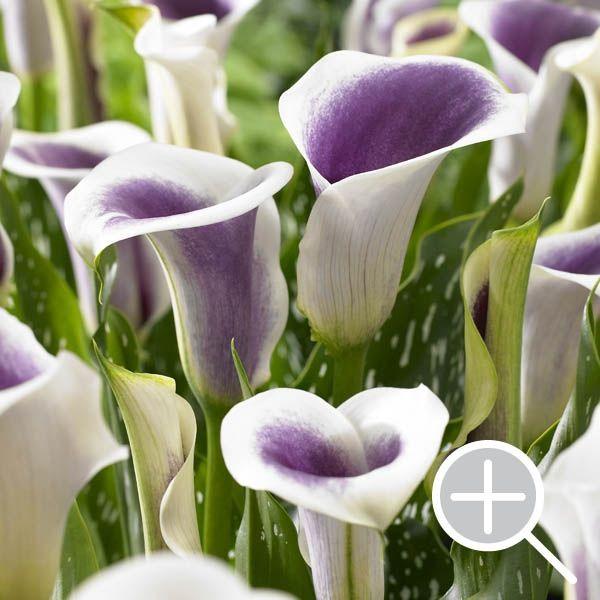 Calla Lilies - Zantedeschia