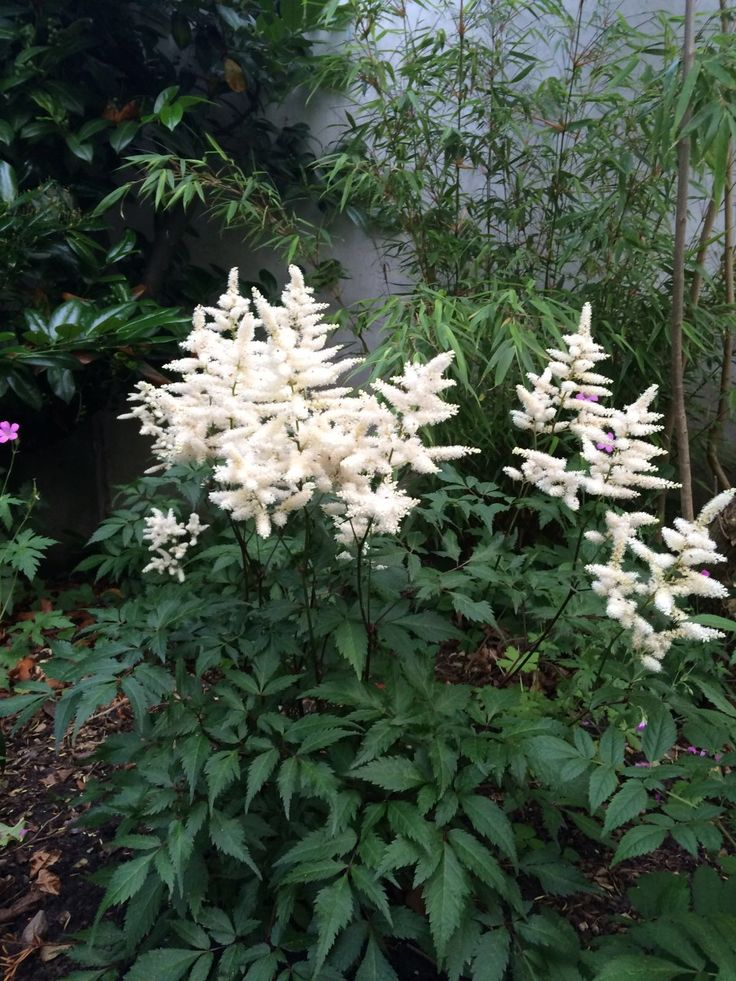 White astilbe in front of bamboo in shady area