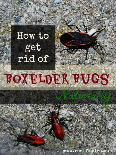 How to get rid of boxelder bugs naturally real food rn - How to get rid of stink bugs in garden ...