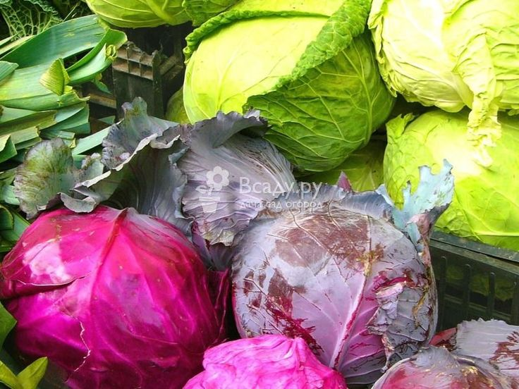 Сроки посева семян среднеспелых и поздних сортов капусты в России  Среднеспелые и поздние сорта капусты для посева на рассаду, вегетационный период, время до пересадки в открытый грунт, сроки посева на территории России