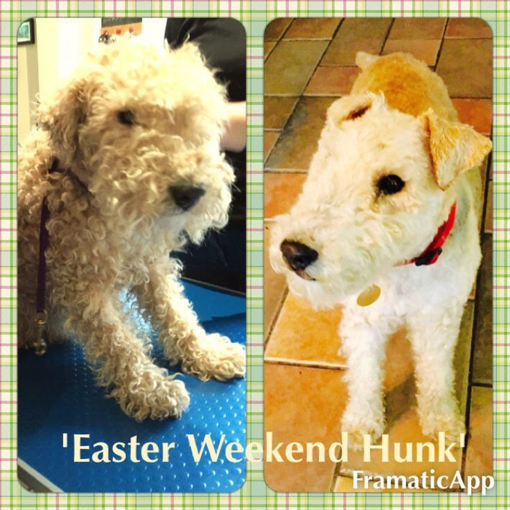 Our Easter Hunk Special is Max a Lakeland Terrier from Penwortham, Preston. He's 15 years old and very dashing if you ask us!