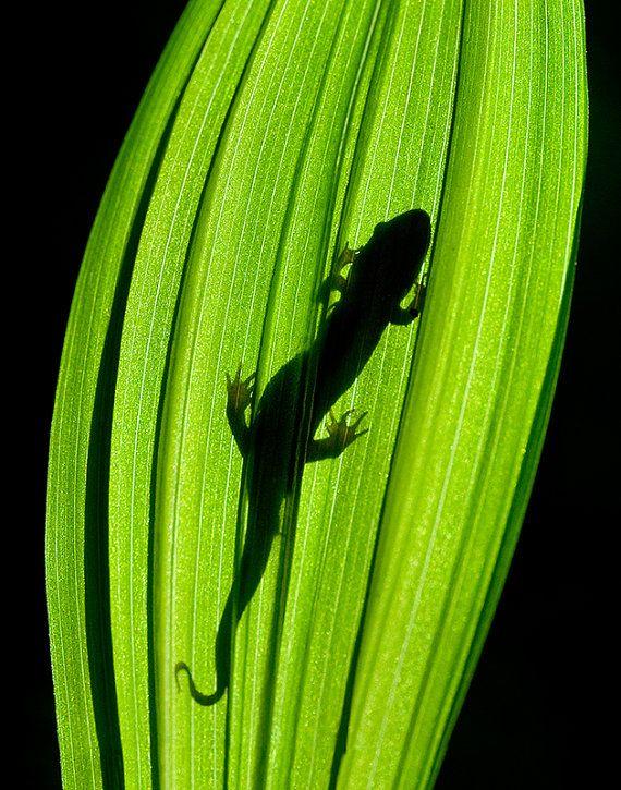 Nature Photography Spring Salamander Silhouette - 16x20 Fine Art Canvas Wrap - Great Smoky Mountains, Wildlife Photography, North Carolina
