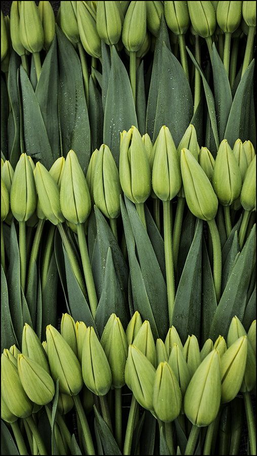 Pre-bloom tulips radiate the beauty of natural green.