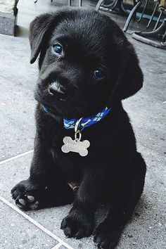 Black Lab puppy - definitely need a red collar