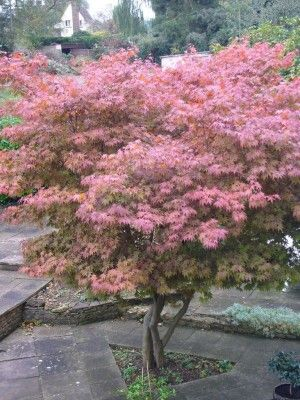 JAPANESE MAPLE CARE – Learn How To Grow A Japanese Maple Tree