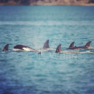 Wild Transient Killer Whales from today north of San Juan Island.