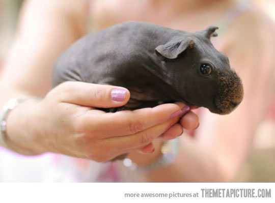 Shaved Guinea Pigs looks like tiny hippos…why you would do this I don't know...but it's funny