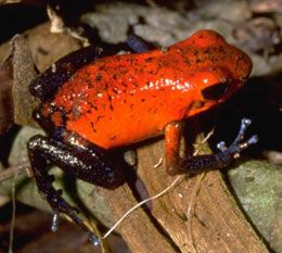 Strawberry Dart Frogs: Poisonous Strawberry, Poisonous Frogs, Poison Dart Frogs, Feelin Froggy, Strawberry Dart, Toad, Animal