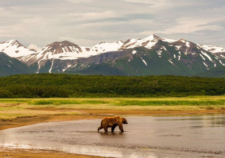 Katmai National Park Alaska, USA Bear walks through water with snow-capped mountains in the background.
