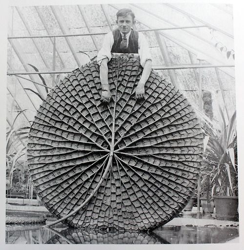 """Victoria amazonica has been a long-running inspiration even beyond its botanical """"wow"""" factor, not only for its structure but for its instant recognizability. Read more on it here, and check out the NYBG in summer when ours will be on display! —MN        janedzisiewski:            Apparently Sir Joseph Paxton's structural ideas for the Crystal Palace came from plants - and more specifically the Victoria Regia Lily pictured, which were later cultivated inside the palace."""