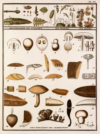 Jean Baptiste François Bulliard -- Plate VI -- Botanical Plates -- RHS Prints
