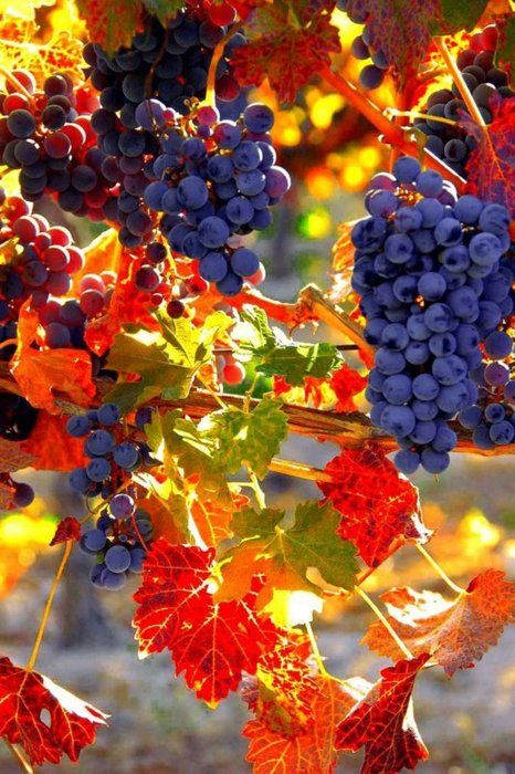 Grapes in fall. Incredible color contrast.