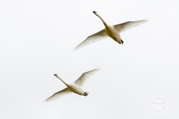 White Geese in Flight by Jan Taylor