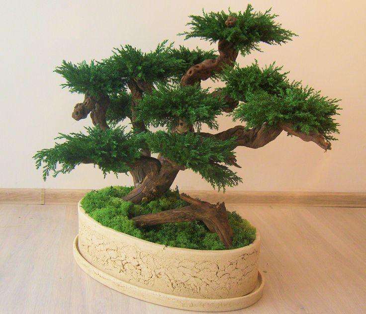 Artificial preserved bonsai juniper tree.