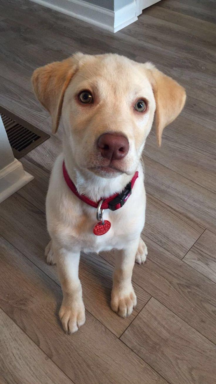 1496 best labrador images on pinterest labrador retriever yellow lab puppy nvjuhfo Images