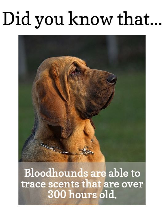 what you should know about #Bloodhounds | www.fordogtrainers.com