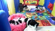 Maximilian's Schnauzers in Florida LIVE cam: Segen's Puppies Date Of Birth: 9/21/13: 1 Boy & 4 Girls