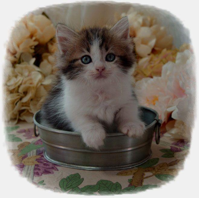 Munchkin Napoleon Kitten Breeders In Iowa Picket Fence Munchkins Munchkin Kitten Kitten Munchkin